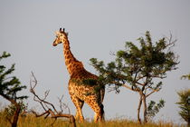 Giraffe - Safari in Afrika  by Marita Zacharias