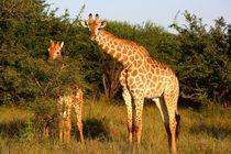 Giraffe Mutter und Kind im Safaripark Südafrika by mellieha