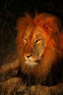Löwe in freier Wildnis bei Nacht in Südafrika von Mellieha Zacharias