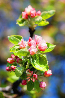 Apfelblüte I von Uwe Ruhrmann