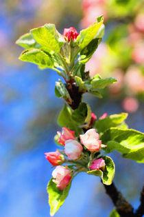 Apfelblüte VII von Uwe Ruhrmann