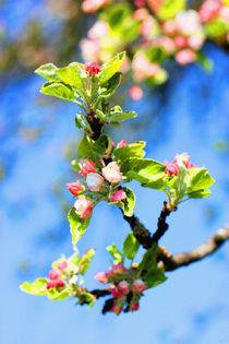 Apfelblüte VI von Uwe Ruhrmann