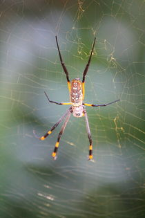 Silk spider Nephila - Seidenspinne by mellieha