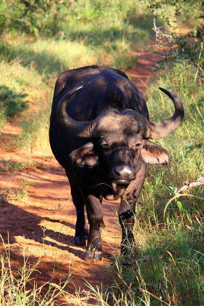 Buffalo-suedafrika-4