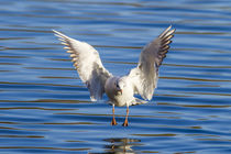 Black-headed gull (Chroicocephalus ridibundus) by Christopher Smith