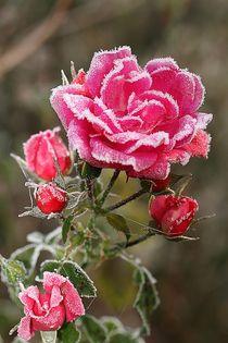 The last rose II by Anja  Bagunk