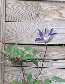 Blaue Clematis vor Holz von Angelika  Schütgens