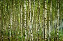Endless Birches von Janis Upitis