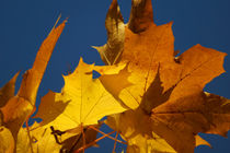 Goldgelbe Ahornblätter und Himmelsblau von Sabine Radtke
