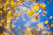 Birkenherbst  by goettlicherfotografieren