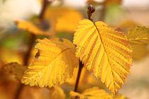 Hainbuche im Herbst by Bernhard Kaiser