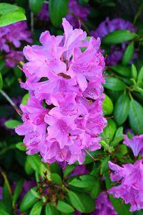 Rhododendron-Schönheiten by gscheffbuch
