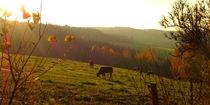 Kühe auf der Weide von darlya