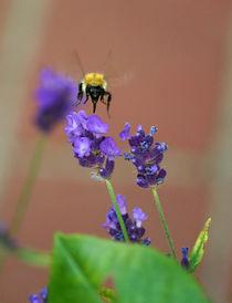 Hummelanflug auf Lavendel von Sabine Radtke