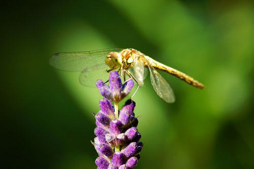 Libelle-lavendel