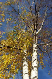 two birch trees  by feiermar