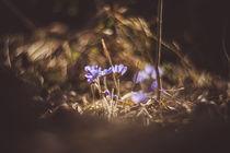 Leberblümchen - Petzval von goettlicherfotografieren