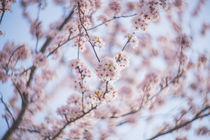 Petzval - Kirschblüten - Hanami by goettlicherfotografieren