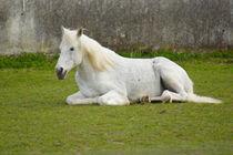 Weißes Pferd von Mathias Karner
