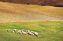 Schafherde Toskana Italien / sheep flock Tuscany by Thomas Schaefer