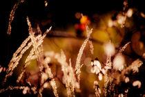 Herbst-Gräser von mroppx