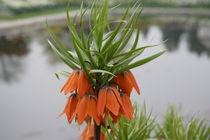 Blume, Botanischer Garten, Kaiserkrone, Orange Flower by yas
