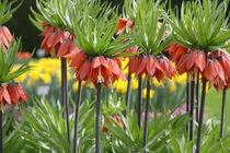 Blumen, Kaiserkrone, Blumenwiese, Exoitsche Pflanzen by yas