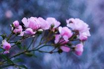 Roses by Thomas Matzl
