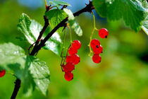 Red currants ripe by Yuri Hope