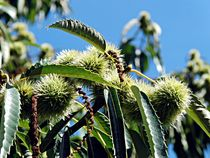 chestnut fruit by Linda Schilling
