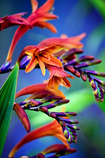 Blooming Crocosmia von Vicki Field