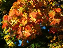 Spitzahorn im bunten Herbstkleid von Sabine Radtke