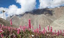 Himalayan Alpine Flora  von studio-octavio