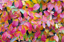 Background of vivid red leaves of autumn bush close-up von Vladislav Romensky