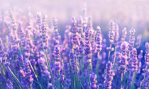 Lavender in Provence by sabina-s