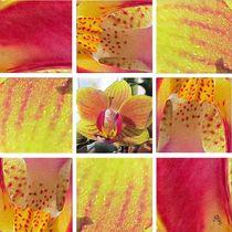 9er Phalaenopsis gelb_pink von Angelika  Schütgens