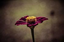Lila Blüte von mroppx