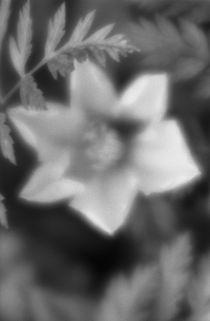 Clematis flower von Alexander Kurlovich