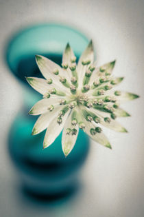 Sterndolde in Blüte von Ruby Lindholm