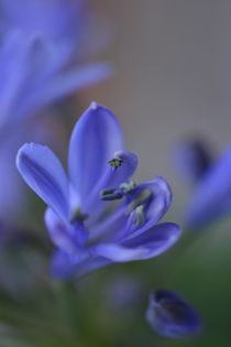 blue flower by Ute Bauduin