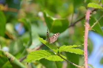 Speckled Wood Butterfly by Malcolm Snook