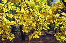 Yellow maple leaves von Vladislav Romensky