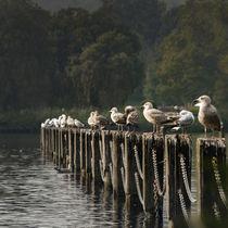 Seagulls in a Row with foggy Background von Gerhard Petermeir