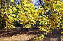 Yellow autumn maple leaves backlit von Vladislav Romensky