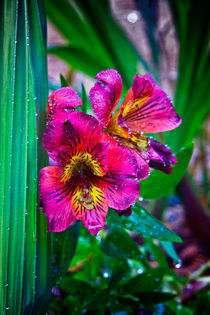 Pink Peruvian lily von Vicki Field