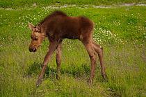 Baby Moose von Amber D Hathaway Photography