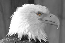 Bald Eagle Profile by Amber D Hathaway Photography