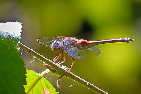 Dragonfly-posing-1