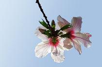 hibiskus by fotolos