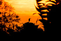 Reiher beim Sonnenaufgang von mroppx